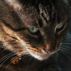 Avoiding the Lens  160/P366 (KvonK) Tags: pet male june cat feline kitty lowkey p366 kvonk
