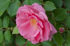 Pink Rose (photog-geek.com) Tags: pink flower color nature rose garden spring josh bloom