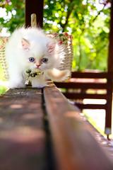 Hilye (Sema K.) Tags: blue white cat iran himalaya pure beyaz mavi redpoint kedi saf