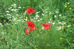 ladies in red... (Martha-Ann48) Tags: red white grass yellow poppies verge buttercups mayweed scentless