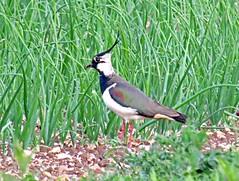 Lapwing - Vanellus vanellus (Rob Felton) Tags: bedford bedfordshire ground crop lapwing felton vanellusvanellus onionfield cardington robertfelton