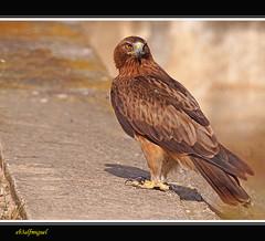 Aguila  Calzada (Hieraaetus pennatus) (eb3alfmiguel) Tags: aves aguila calzada rapaces diurnas