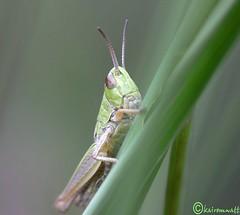 HP2 (kairemwatt) Tags: wiese grasshopper moor makro tamron insekten grashpfer makrofotografie feldheuschrecke tamron180mm tamronobjektiv