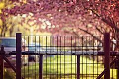 I miss Spring. (Linh H. Nguyen) Tags: flowers trees light sunset newyork nature colors island bokeh sony blossoms roosevelt nikkor8518 nex7