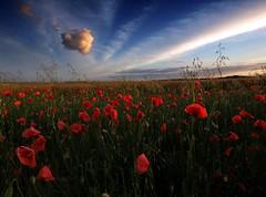 Bleu blanc rouge ! (photosenvrac) Tags: fleur rouge lumire bleu ciel prairie nuage paysage coquelicot pr