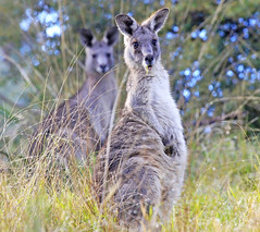 Eastern Grey Kangaroos : On the alert . . . (Clement Tang ** Busy **) Tags: nature feeding wildlife australia victoria marsupial wintermorning kucha closetonature concordians candlebarkpark greateasterngreykangaroo iyirrbir uwoykangand uwolkola pakanh