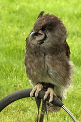 "Milky Eagle Owl 1 (FlyingV99) Tags: school bird hall flying suffolk eagle display country fair owl falcon 2012 talons prey"" ""birds heveningham ""english milkyeagleowl falconry"""