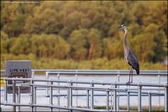 Like a boss... (jfelege) Tags: heron birds river mississippi wildlife ngc iowa ia mississippiriver blueheron dubuque greatblueheron dubuqueiowa lockanddam11 lockdam11 lockanddamnumber11