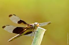 Perched (cclontz) Tags: macro closeup garden georgia insect fly pond nikon dragon dragonflies dragonfly 300mm odonata  libel anisoptera   johnscreek epiprocta vka yusufuk vilinkonjic   infraorder d7000  conchunchun