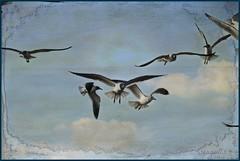 ~~seagulls~~ (itsjustme1340-Ress) Tags: seagulls explorer hugs jonathanlivingstonseagull withtextures magicunicornverybest thankstolenabemannafortextures iwillvisteveryonesoonrecoupingfromalongweekendatwork