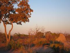 Evening Stroll (Mike Barish) Tags: elephant safari elephants botswana okavangodelta selinda selindacamp greatplainsconservation