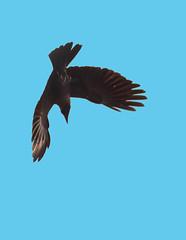 The Dive # 24 (ramsfotobites - my experiments with light) Tags: wild house bird nature birds fauna inflight nikon flickr natural indian birding flight dive crow nikkor avian bif avifauna lifer untamed corvussplendens birdphotography housecrow d90 avianfauna indianhousecrow ramsfotobites