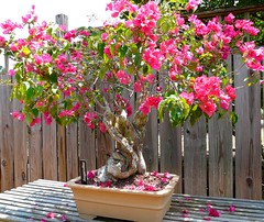 Bougainvillea Bonsai (birdrman) Tags: bougainvillea bonsai huntsvillebotanicalgarden fz18 wonderfulworldofflowers
