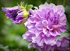 Ottos Delight (Explored) (Wes Iversen) Tags: flowers nature blossoms dahlias odc hcs friendshipparkconservatory ourdailychallenge clichsaturday