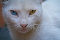 Odd-Eyed Cat (aminefassi) Tags: africa leica blue portrait copyright pet pets white color colour eye nature animal yellow closeup cat jaune lumix kitten kat chat gib ngc panasonic bleu morocco gato maroc katze  puss gatto blanc 45mm kot couleur katz  2012 lightroom kttur felin photographe oddeyed heterochromia elmarit mft  morokko marueccos   vairon  gx1 microfourthirds highqualityanimals aminefassi