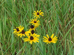 Black-eyed Susan (jdf_92) Tags: flower yellow indiana rudbeckia wildflower blackeyedsusan rudbeckiahirta northforkmarsh