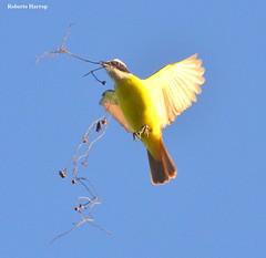 Bem-te-vi (Pitangus sulphuratus) - Great Kiskadee (Roberto Harrop) Tags: bemtevi pitangussulphuratus greatkiskadee aves birds pssaros aldeia paudalho robertoharrop