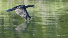 Cormorant Touchdown (Alfred J. Lockwood Photography) Tags: alfredjlockwood nature bird wildlife cormorant doublecrestedcormorant bearcreekpark keller texas water morning flight