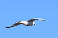 DSC_2702 (PeaTJay) Tags: nikond750 tamron reading lowerearley berkshire outdoors birds birdsofprey gull gulls