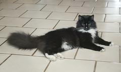 Silky Slim 037 (dblees) Tags: cat gato chat kitty  koka kat kissa katze gatto kot pisic maka katt  kedi con mo       gata