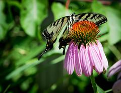 Hidden pollen... (knoxnc) Tags: coneflower mountvernon nikon butterfly nature d7200 pollen depthoffield washingtondc summer bokeh