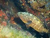 Merou 2 (juredel) Tags: juredel merou becon olympus corse corsica méditéranée mediteranneansea blue fish poisson banc omd em5 oxy oxygene wall wallpaper
