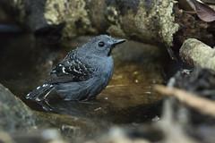 Xingu Scale-backed Antbird (Rendadinho-do-xingu) (Fabio Rage) Tags: xingu scale backed antbird rendadinho do