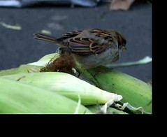 Sparrow Eating Corns (meg williams2009) Tags: unionsquaregreenmarket greenmarket newyork nyc unionsquare sparrow corns market urbannature unionsquaregreenmarketnyc vegetables organicproduces meats poultry fruits