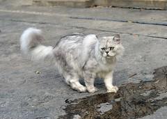 persian cat (the foreign photographer - ) Tags: gray persian cat walking soi phahoyolthin 63 bangkhen bangkok thailand nikon d3200
