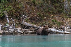 In the water - Lake Clark National Park (Captures.ch) Tags: 2016 alaska animal black blue brown brownbear crescent crescentlake fall gras gray grizzly grizzlybear highadventureaircharter kenai lake lakeclarknationalpark lookbacklakeclarknationalpark mosquitos nationalpark nature orange red september soldotna travel trees usa violet water white