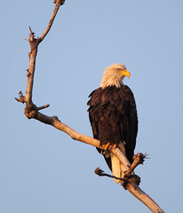 Resident bald eagle at dawn - Staten Island, New York (superpugger) Tags: statenislandbaldeagles bald eagles baldeagles newyorkcitywildlife lawrencepugliares lpugliares