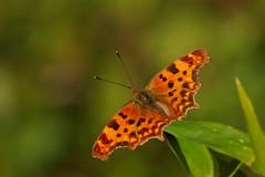 Polygonia c-album (4) (JoseDelgar) Tags: josedelgar insecto mariposa polygoniacalbum thegalaxy contactgroups sunrays5 panoramafotográfico photosandcalendar natureselegantshots macroelsalvador