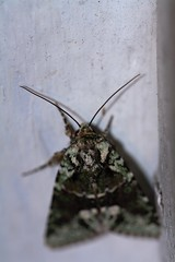 moth (f.tyrrell717) Tags: moth whit black green macro bug