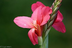 Pure And Simple (flipkeat) Tags: canna lilly pink closeup flowers flower flora awesome different exotic