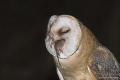 Coruja-das-torres, Barn Owl (Tyto alba) (xanirish) Tags: corujadastorres barnowltytoalbanunoxavierlopesmoreira ngc nuno xavier moreira wildlife nigjt owls prey
