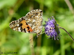 Painted lady (LPJC) Tags: chambersfarmwood butterfly lincolnshire uk 2016 lpjc paintedlady