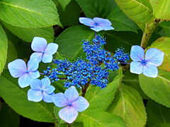 Lacecap Hydrangea - Explored (teresue) Tags: 2016 wa washington seattle hydrangea hydrangeamacrophyllanormalis lacecap