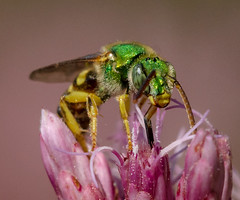Green Metallic Sweat Bee (tresed47) Tags: 2016 201608aug 20160820springtonmacro bee canon7d chestercounty content folder greenmetallicbee insects macro pennsylvania peterscamera petersphotos places springtonmanor takenby technical us ngc