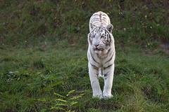 wei (Mel.Rick) Tags: tiger zooparc overloon raubtiere raubkatzen groskatzen sugetiere natur tiere
