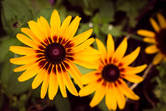Yellow and Red, Canal Park, Duluth (Sharon Mollerus) Tags: flowers duluth minnesota unitedstates cfp16