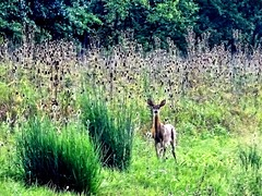 in the midst of thistles (Lana Pahl / Country Star Images) Tags: flickrnature ilovenature whitetaildeer