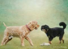 Their Last Playtime (Denise Trocio (D Trocio Photography)) Tags: sammy lucky luckycharm dog domesticanimal playtime 82816