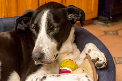 he even sleeps with his fave toy (grahamrobb888) Tags: nikond800 nikkor85mmf18 zac dog pet ball snooze