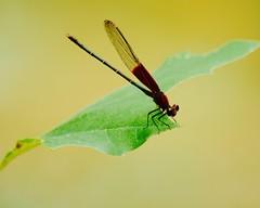 Red Winged Damselfly - Hetaerina americana (Kreative Capture) Tags: red insect bug wings macro leaf holding texas nikon d7100 abdomen thorax outdoor eyes legs macromonday green damselfly hetaerina americana