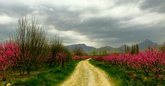 . (Vieparamsberlon.) Tags: landscape spring fruit gardens village country side trees texture path dirt road mountain serene