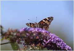 Painted Lady (jenny*jones) Tags: 2839 paintedlady cynthiacardui nymphalidae brushfootedbutterfly lepidoptera butterfly budleja westyorkshire gtbritain summer2016 naturephotography naturalworld canon