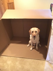 Calvin helps his humans with the moving boxes (hero dogs) Tags: dog labrador cute therapydog servicedog