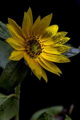 Sunflower 75 (pixquik) Tags: sunflower sidelight yellow yellowflowers green black waterdrops rainyday
