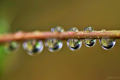 ~~Pluie ~~ (Jolisa) Tags: pluie gouttelettes reflets eau fleur flower nikon septembre2016
