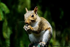 Gray Squirrel Eating and Smiling (--Anne--) Tags: cute animals wildlife nature eating squirrel squirrels feeding gray easterngraysquirrel